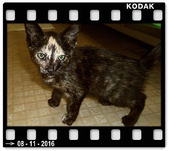 Domestic Shorthair Cat for adoption in Medford, Wisconsin - RAINY