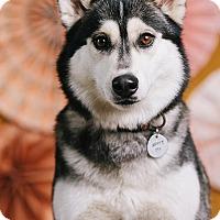 Adopt A Pet :: Athena - Portland, OR