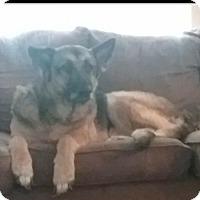German Shepherd Dog Dog for adoption in Greensboro, North Carolina - Rebel(CL)
