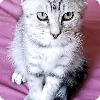 Domestic Mediumhair Kitten for adoption in Los Angeles, California - Lyle