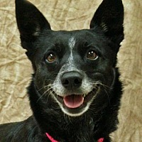 Australian Cattle Dog/Border Collie Mix Dog for adoption in Modesto, California - Zoey