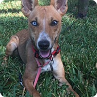 Adopt A Pet :: Gidget - Davie, FL