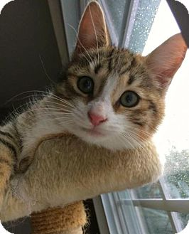 Domestic Shorthair Cat for adoption in East Brunswick, New Jersey - Autumn