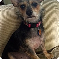 Chihuahua/Yorkie, Yorkshire Terrier Mix Dog for adoption in Ft Myers Beach, Florida - Only a few days left!!!