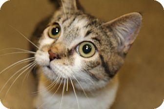 Domestic Shorthair Cat for adoption in San Leandro, California - Villa