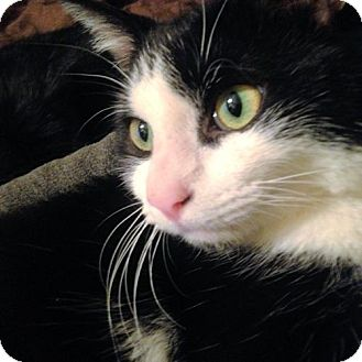 Domestic Shorthair Cat for adoption in Rocky Hill, Connecticut - Joseph