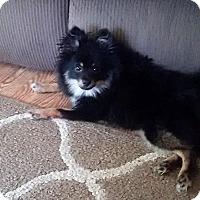 Adopt A Pet :: Samson-Pending! - Detroit, MI