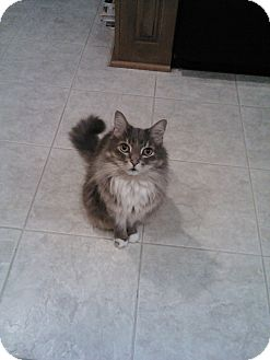 Domestic Longhair Cat for adoption in Laguna Woods, California - Oscar