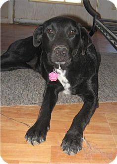 Labrador Retriever/Retriever (Unknown Type) Mix Dog for adoption in Golden Valley, Arizona - Abby