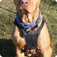 American Staffordshire Terrier Mix Dog for adoption in Bloomsburg, Pennsylvania - Ginger
