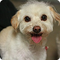 Adopt A Pet :: Violet - Canoga Park, CA