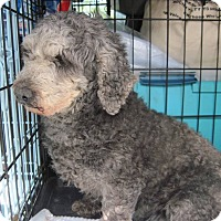 Adopt A Pet :: Sienna - DAYTON, OH