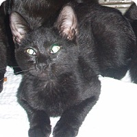 Domestic Shorthair Kitten for adoption in Germansville, Pennsylvania - Falcon