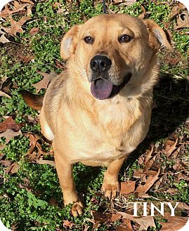 Chow Chow/Beagle Mix Dog for adoption in Columbia, Tennessee - Tiny