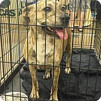 Adopt A Pet :: Tiger - Lincolnton, NC