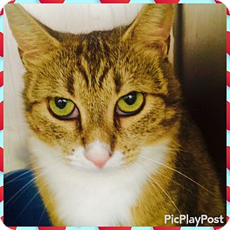 Domestic Shorthair Cat for adoption in Marlton, New Jersey - Dusty