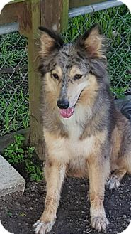 Collie Mix Dog for adoption in Stafford, Texas - Izzy *New* 2 years old