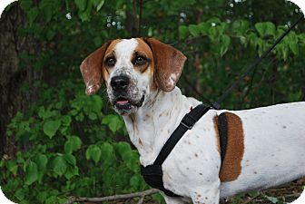 bulldog basset hound mix gracie adopted dog 226 16 new castle pa basset 1079