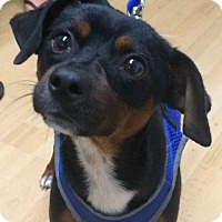 Adopt A Pet :: Levi in CT - Manchester, CT