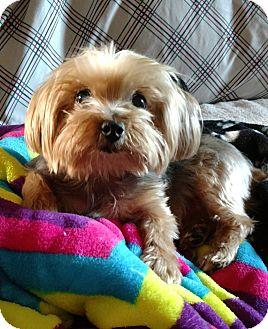 Yorkie, Yorkshire Terrier Dog for adoption in West Linn, Oregon - Charlie