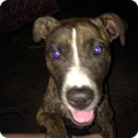 Adopt A Pet :: Nutmeg - Henderson, NC