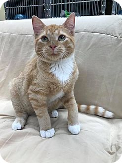 Domestic Shorthair Kitten for adoption in Maryville, Missouri - Ralph