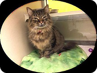 Maine Coon Cat for adoption in Herndon, Virginia - Abby