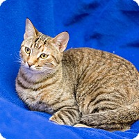 Adopt A Pet :: Star - Fountain Hills, AZ