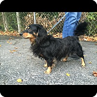 Dachshund Mix Dog for adoption in Hainesville, Illinois - Orion