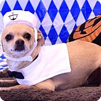 Chihuahua Mix Dog for adoption in Scottsdale, Arizona - Rocky