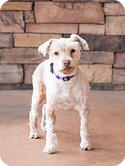 Schnauzer (Miniature) Dog for adoption in Chandler, Arizona - Kasper