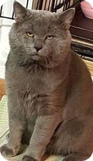 British Shorthair Cat for adoption in brewerton, New York - Smokey