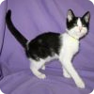 Domestic Shorthair Cat for adoption in Powell, Ohio - Cubby