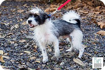 Shih Tzu Mix Dog for adoption in Newburgh, Indiana - Sambo