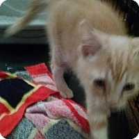 Adopt A Pet :: Baby Kitty Chance - Akron, OH