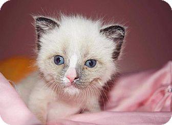 Snowshoe Kitten for adoption in Fenton, Missouri - Mouse