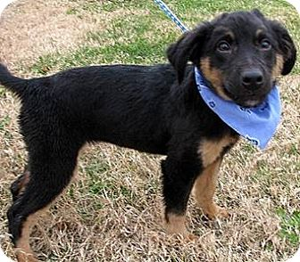 German Shepherd Dog/Golden Retriever Mix Puppy for adoption in Oswego, Illinois - Noel