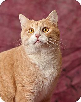 Domestic Shorthair Cat for adoption in Harrisonburg, Virginia - Alec Azzam
