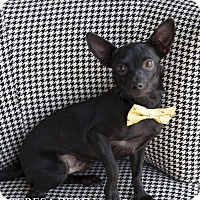 Chihuahua Mix Dog for adoption in McKinney, Texas - Dexter