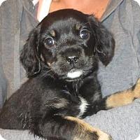 Adopt A Pet :: Tulip - Westport, CT