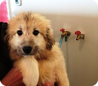 Anatolian Shepherd/Great Pyrenees Mix Puppy for adoption in Wooster, Ohio - Mishka