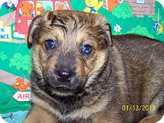 Australian Cattle Dog/German Shepherd Dog Mix Puppy for adoption in Sherman, Connecticut - Keith Betty's Dog