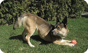 Australian Shepherd Mix Dog for adoption in Hamilton, Ontario - Meeka