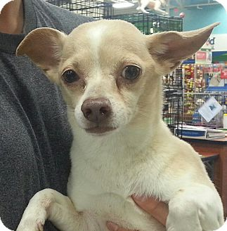 Chihuahua Mix Dog for adoption in Orlando, Florida - Rosco
