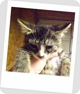 Domestic Shorthair Kitten for adoption in Owosso, Michigan - Spice