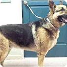 Adopt A Pet :: Toby-Shep