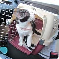 Turkish Van Cat for adoption in Cerritos, California - Samantha