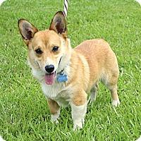 Adopt A Pet :: *Boone - PENDING - Westport, CT