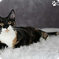 Adopt A Pet :: Chantilly Lace - Eagan, MN