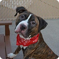 Pit Bull Terrier Mix Dog for adoption in Manhattan, New York - Elijah